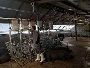 人工智能 养猪(简述智能养猪的主要特点)