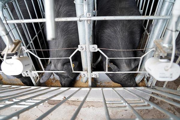 人工智能养猪(畜牧扩大内需)